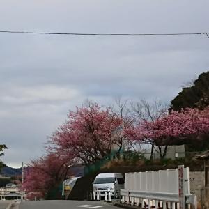 2020.2.6 今日のお弁当と河津桜と海