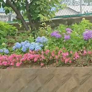 2020.6.3 紫陽花の季節になりました