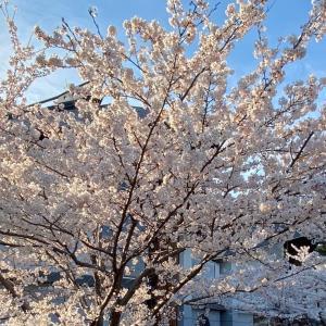 本荘公園の桜開花状況