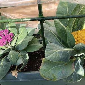 う〜ん、残念な紫カリフラワーの収穫!