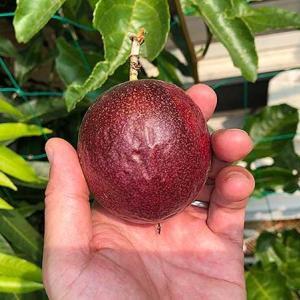 4つ目のパッションフルーツ収穫!