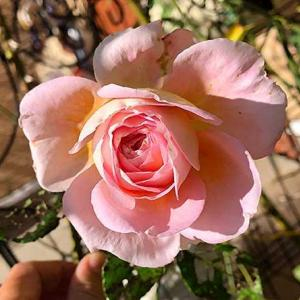 今シーズン最後のバラたち・・・。