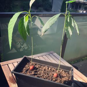 アボカド栽培、その後。