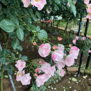 すでにバラが咲いていた