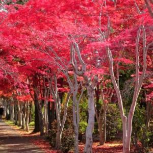 【短歌日記】紅葉の 名所に行けぬ 我が身ゆえ ハゼの盆栽 庭で楽しむ /// 紅葉の季節になりましたが、家を空けるわけにもいかず、庭のハゼノキ盆栽で雰囲気を味わっています。