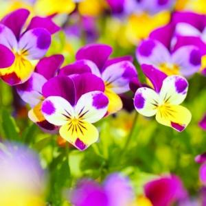 【短歌日記】決断の つかぬわが身の もどかしさ 春夏の花 捨てられぬとは /// ポーチュラカ、カリブラコア、オーシャンブルーなどなど…。