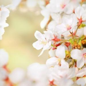 【短歌日記】美しく 咲けども虚し ウイルス禍 花見もできぬ 寂しき春よ /// 頭上では、「花見をしてよ」と言わんばかりに桜が咲けども、世はまさに自粛、自粛で…。