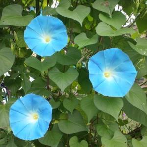 【短歌日記】庭土に 直接咲いた アサガオの ライトブルーに 目を奪われる /// 昨年の種から自然に咲いたアサガオ。ツルは伸びておらず、庭土から直接生えたように咲いています。