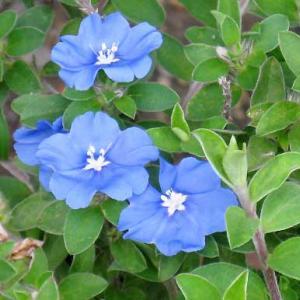 【短歌日記】その青は 目も覚めるほど 鮮やかな アメリカンブルー 夏の水浴び /// つい先日、ビオラに替えて鉢植えしたアメリカンブルーが咲き始めました。