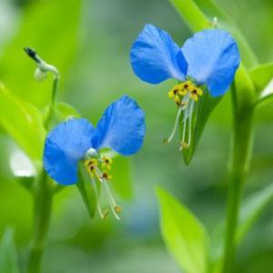 【短歌日記】線路わき 青草茂る その中に 露草の青 哀れを誘う /// 露草の青い花。若冲の絵に出てくるような目も覚める青。