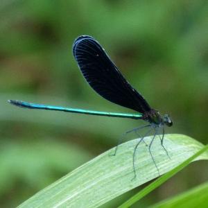 【平安寺のささやき 短歌日記】   黒い羽根 緑の尻尾 愛らしい 背黒トンボの 水面遊泳 /// 俗称をカワトンボともいうハグロトンボ。なかなか美しいトンボです。^e3yd@k