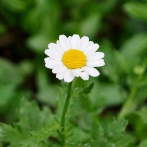 【短歌日記】寒に耐え ノースポールの 花一つ コロナ禍のもと 健気に咲ける  /// 菅内閣の支持率、はや33%まで下落。それを記念するかのように、庭のノースポールがやっと一輪咲き染めました。 。