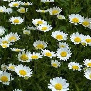 【短歌日記】来年も  咲いておくれと 声かけて ノースポールの 古茎を引く /// 最後の咲き残りも終えたノースポールを片付けました。
