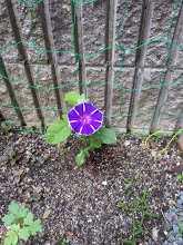 【短歌日記】初咲きの 庭のアサガオ 眺めつつ コロナの夏の 朝の水やり /// 手ずから植えた庭のアサガオが、初咲きしてくれました。