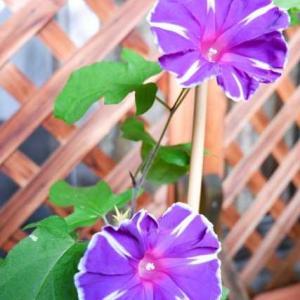 【短歌日記】梅雨止みて 陽の降り注ぐ 朝迎え きりりと咲ける 朝顔うれし /// 朝顔が、やっときれいな形で咲いてくれました。