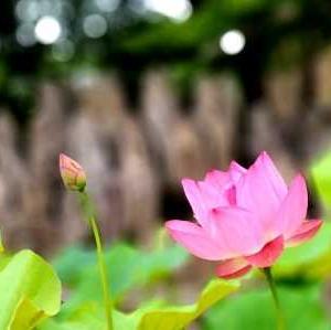 【短歌日記】振り向けば 夏の暁 清々し コロナに揺れる 現在(いま)というのに /// 自然に訪れる風景は、何事も無いように見えても…。