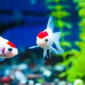 【短歌日記】冷え冷えの 真白きうどん たぐりつつ 金魚の泳ぐ 姿に見入る /// 目の前に、雑誌の中の金魚の泳ぐ姿を見ながら、うどんを食べる。