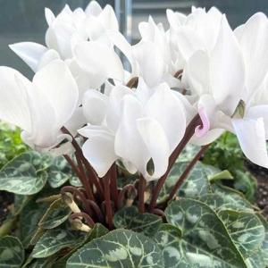 【短歌日記】真っ白な シクラメンの鉢 手に取って 微笑む乙女 花にも負けず /// 花売り場にて見かけた風景。