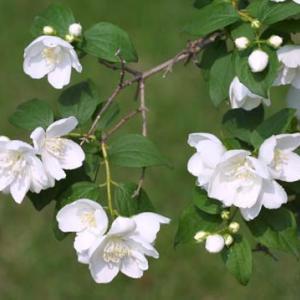 【短歌日記】春咲きの バイカウツギが つぎつぎと 猛暑の中で 咲き誇るとは /// 何ということでしょう。春に咲く花、バイカウツギ(梅花空木)の、猛暑狂い咲き!