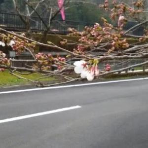 今日の桜3