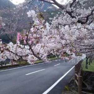 今日の桜5