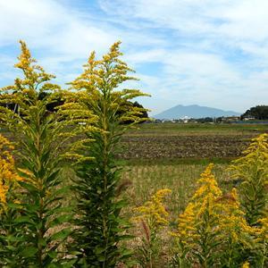 秋の黄色と筑波山