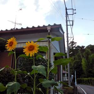 町内に気の早い夏の花が二輪