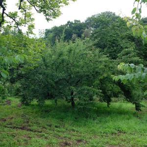 秋間梅林の梅もぎ