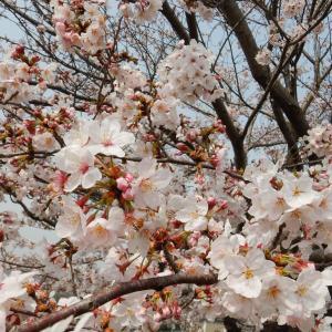 結局のところ桜が好き