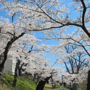 「函館公園でお花見。」