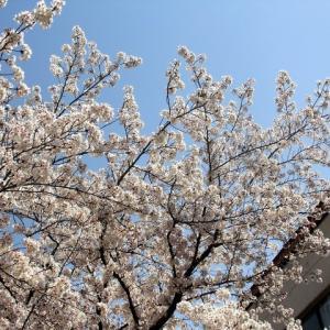 622.桜満開宝塚花の道散歩2020
