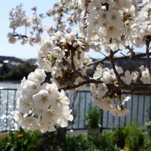 657.仁川弁天池の、桜