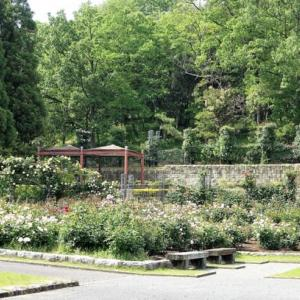 666.播磨中央公園バラ園のバラ