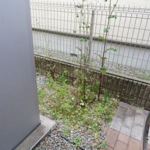 花粉症 やっと治まったので 庭仕事をいたしましたわ。