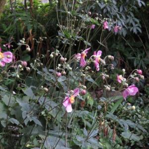 庭の花 №2 シュウメイギク