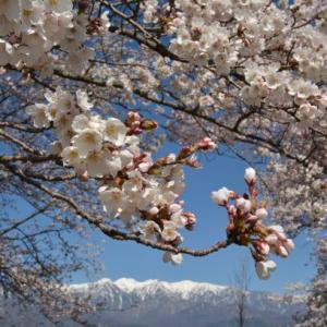 桜の名所巡り
