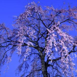 光前寺の夜桜