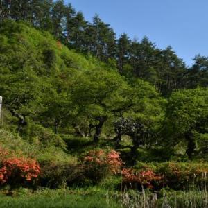 枝垂れ栗森林公園のツツジ