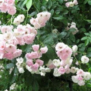 わが家の庭に咲く草花 1