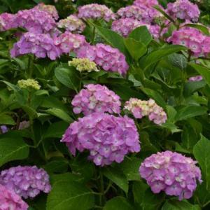 我が家の庭に咲く紫陽花