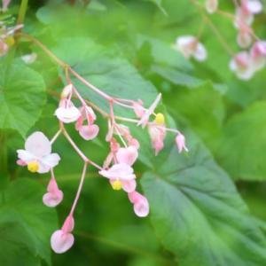 庭の花 ベゴニア