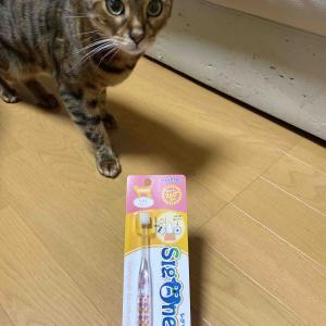 猫に歯ブラシどうなの?