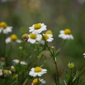 如月2月14日誕生花(スエ-デンのバレンタインデーは・・)