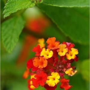 ランタナの..  お花と実☆