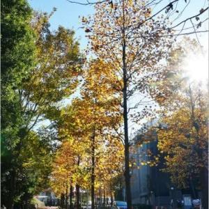 ユリノキ (百合の樹) の 街路樹 ..