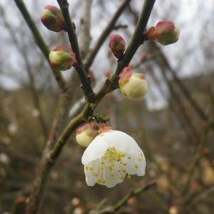 ☆散歩道より・咲き始めた梅の花