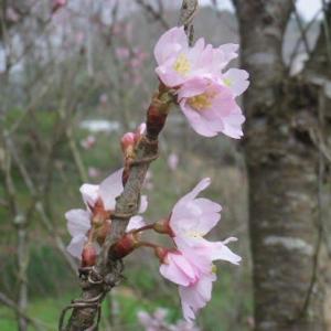 ☆天草・本渡:寒桜咲く・散歩道より