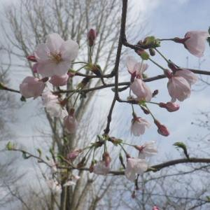 ☆天草・本渡:桜咲き始め・城山公園 散歩