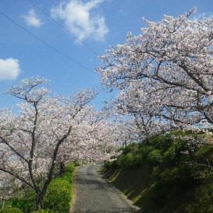 ☆天草・本渡:南公園の桜