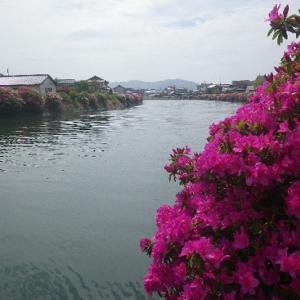 ☆天草・本渡:広瀬川下流に咲くツツジ